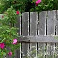 Painterly Fence And Roses by Barbara Griffin