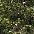 Pair Of Bald Eagles by Darcy Michaelchuk
