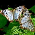 Pair Of Butterflies by Robert Selin