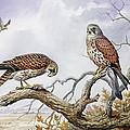 Pair Of Kestrels by Carl Donner