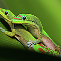 Pair Of Mating Green Geckos by Pete Orelup