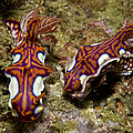 Pair Of Miamira Magnifica Nudibranch by Mathieu Meur