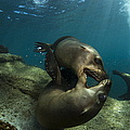 Pair Of Playful Sea Lions, La Paz by Todd Winner
