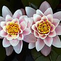 Pair Of Water Lilys by Allan Baxter