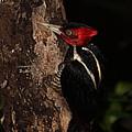Pale-billed Woodpecker by Bruce J Robinson