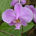 Pale Pink Orchid by Charles and Melisa Morrison