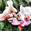 Pale Pink Phalaenopsis Orchids by Susan Savad