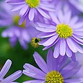 Pastel Purple Aster by Optical Playground By MP Ray