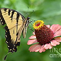 Pale Swallowtail And A Halo by Kathy Gibbons