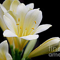 Pale Yellow Clivia Miniata Flowers by Jennie Marie Schell