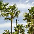 Palm Trees In Spain by Perry Van Munster