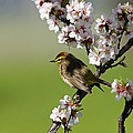 Palm Warbler by Mike Grandmailson