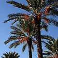 Palms9895b by Gary Gingrich Galleries