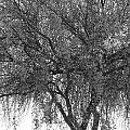 Palo Verde Tree 2 by Kume Bryant