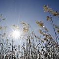Pampas Grass by Mats Silvan