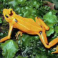 Panamanian Golden Frog Atelopus Zeteki by Michael & Patricia Fogden