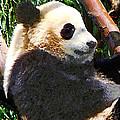Panda In Tree by Susan Savad