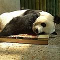 Panda by Roman Anuchkin