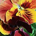 Pansies by Donna Corless