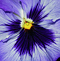 Pansy Closeup by Dave Mills