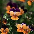 Pansy Garden by Sabrina L Ryan
