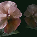 Pansy by Nancy Griswold