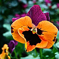 Pansy Power by Susan Herber