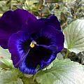 Pansy by Tis Art