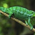 Panther Chameleon Chamaeleo Pardalis by Thomas Marent