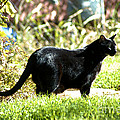 Panther In The Backyard by Cheryl Poland
