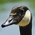 Papa Goose Eye by LeeAnn McLaneGoetz McLaneGoetzStudioLLCcom