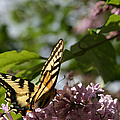 Papilio Glaucus   Eastern Tiger Swallowtail  by Sharon Mau
