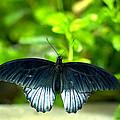 Papilio Lowii II by Floyd Menezes