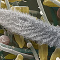 Paramecium Sp. Protozoan, Sem by Power And Syred