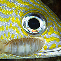 Parasitic Isopod On Grunt, Belize by Todd Winner