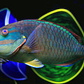 Parrot Fish With Glass Art by David Salter