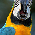 Parrot Squawking by Carolyn Marshall
