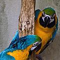 Parrot Talk by Cheryl Cencich