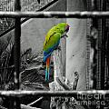 Parrott Thro The Cage by Rob Hawkins