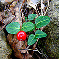 Partridge Berry Berry - Mitchella Repens by Mother Nature