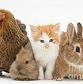 Partridge Pekin Bantam With Kitten by Mark Taylor