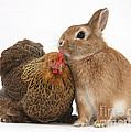 Partridge Pekin Bantam With Rabbit by Mark Taylor