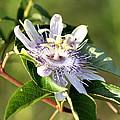 Passion Flower - May Pop Bloom by Travis Truelove