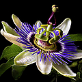 Passion Flower by Endre Balogh