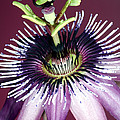 Passion Flower (passiflora Amethystina) by Lawrence Lawry