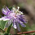 Passion Flower by Travis Truelove