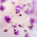 Passion For Flowers. Purple Pearls Of Gypsophila by Jenny Rainbow