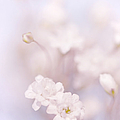 Passion For Flowers. White Pearls Of Gypsophila by Jenny Rainbow