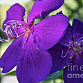 Passion Purple by Susan Herber