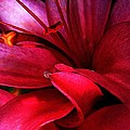 Passionate Lily by Shirley Sirois